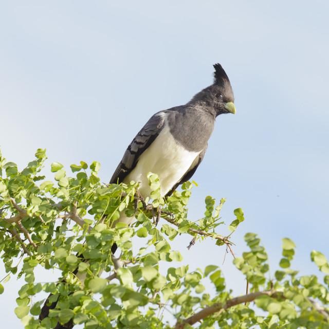 """""""Bare-faced go-away bird"""" stock image"""