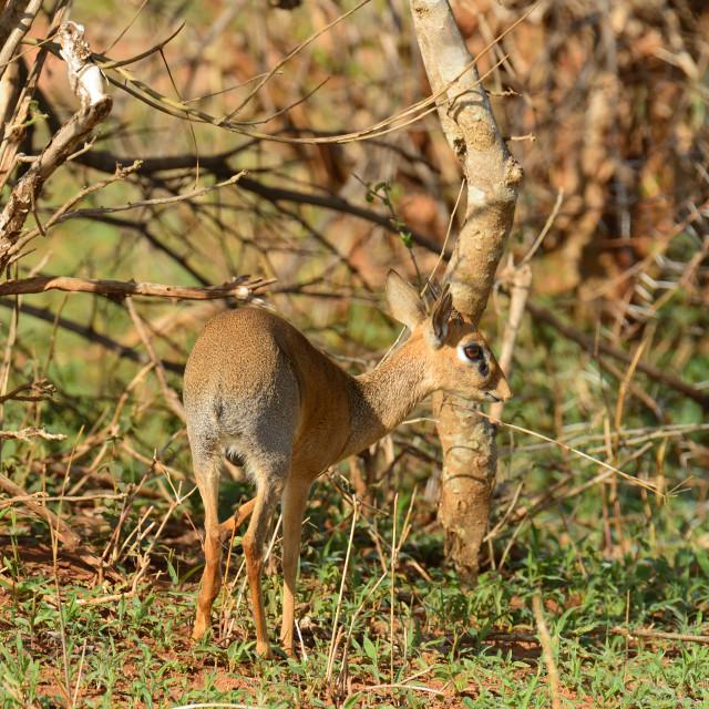 """""""Closeup of Kirk's Dik-dik (scientific name: Madoqua , or """"Dikidiki"""" in Swaheli) in the Tarangire, National park, Tanzania"""" stock image"""