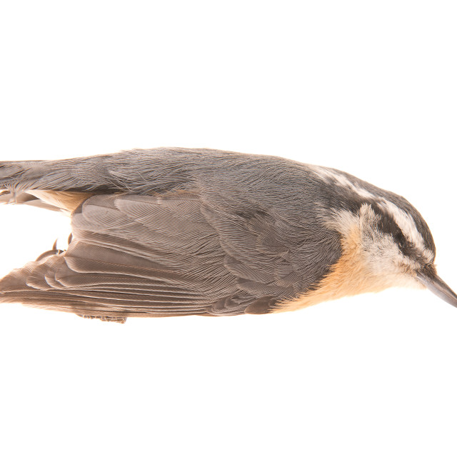 """""""Red-Breasted Nuthatch"""" stock image"""
