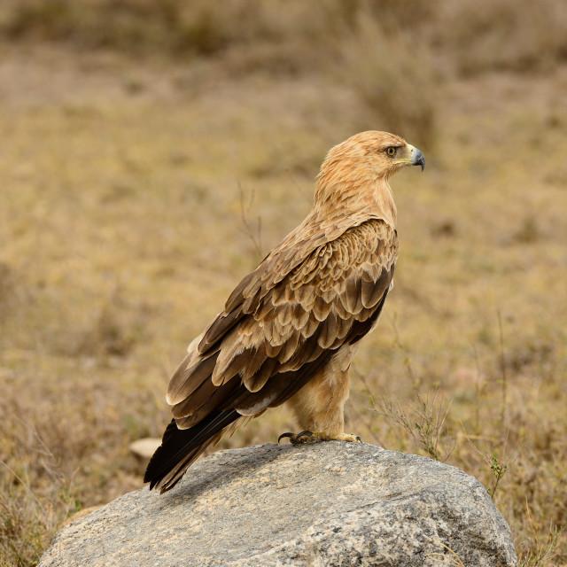 """Tawny Eagle (Aquila rapax), sitting on a rock, near Mbwezi Mawe,Tanzania"" stock image"