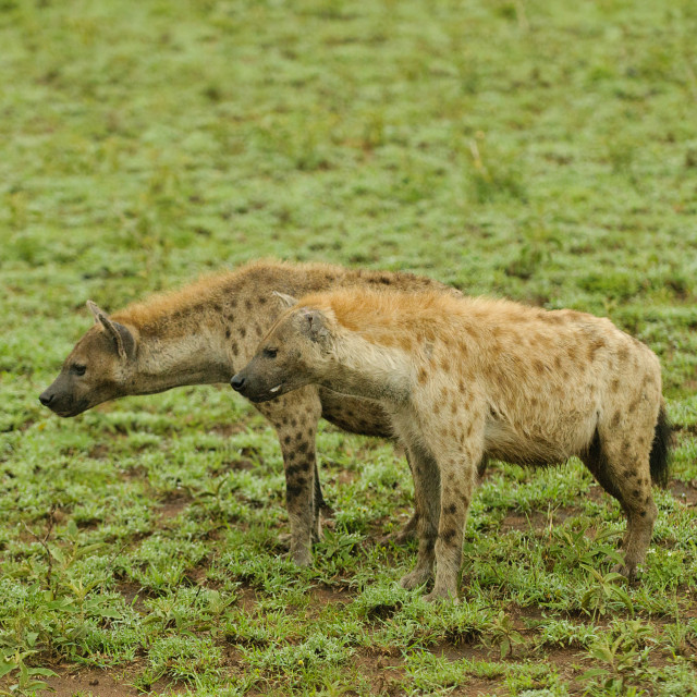 """""""Spotted Hyena"""" stock image"""