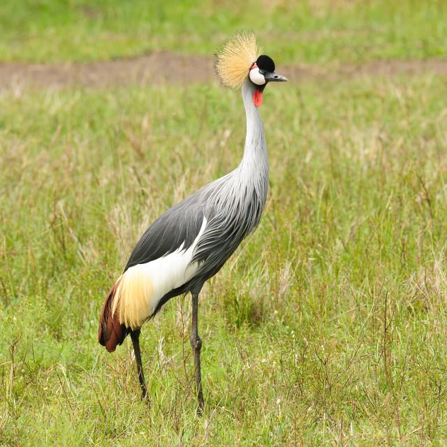 """Grey crowned Crane"" stock image"