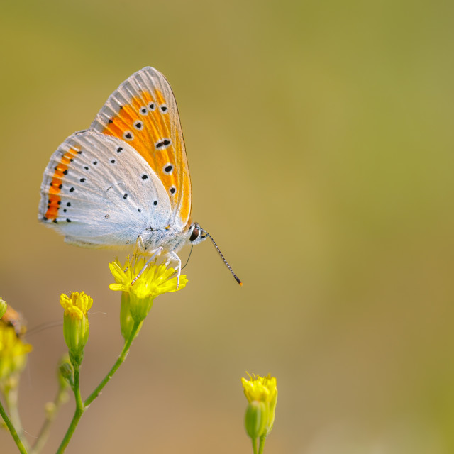 """Lycaena dispar"" stock image"