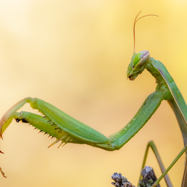 """Mantis religiosa"" stock image"