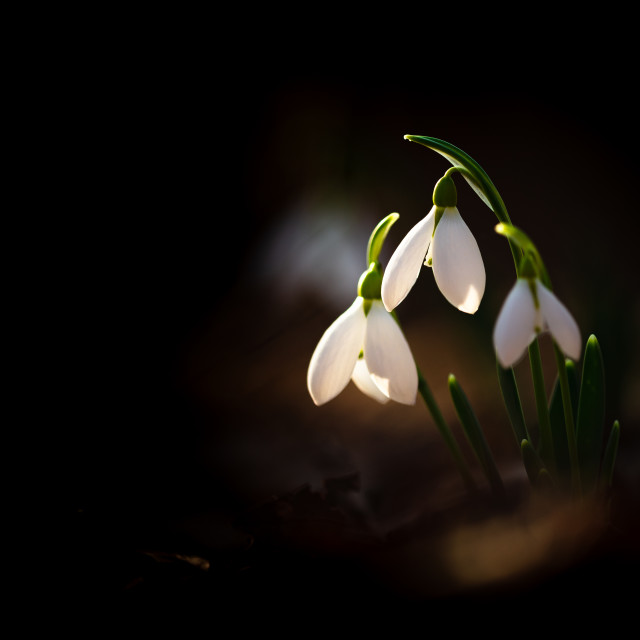 """Greater snowdrop"" stock image"