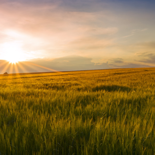 """Panoramic view of the sunset on the field of grain"" stock image"