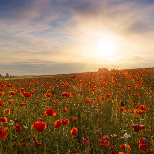 """Beautiful panoramic view of the poppies at sunset"" stock image"