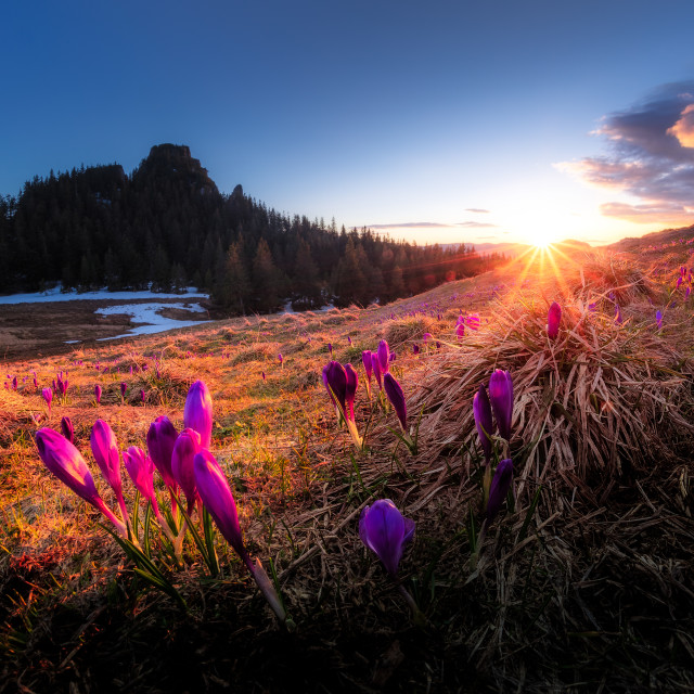 """Crocuses in the sunset"" stock image"