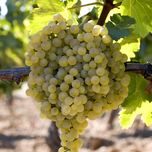 """""""Bunch of white grapes on vine"""" stock image"""