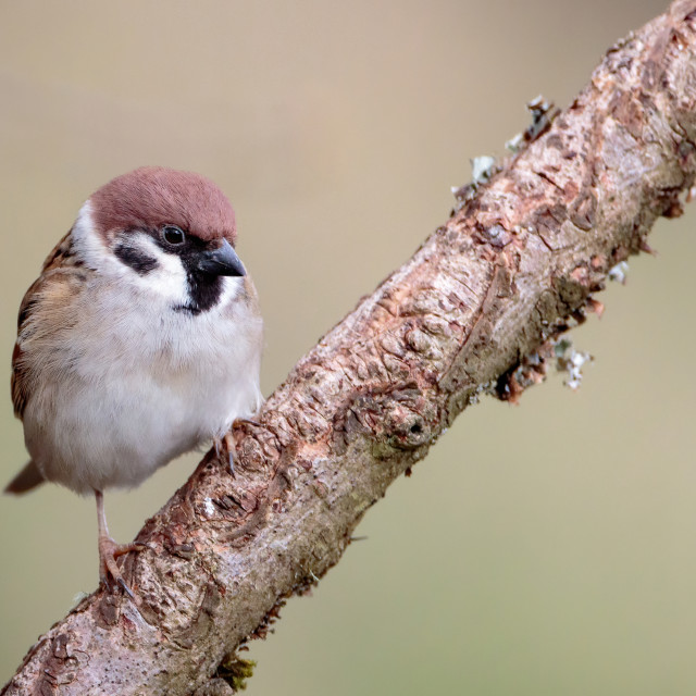 """""""Tree Sparrow perched on a branch"""" stock image"""