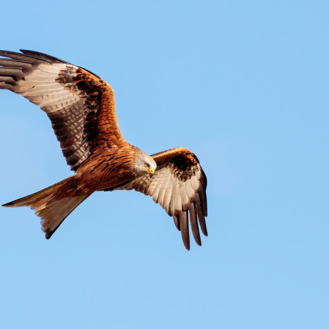 """""""A Red Kite in flight lookng for its prey"""" stock image"""