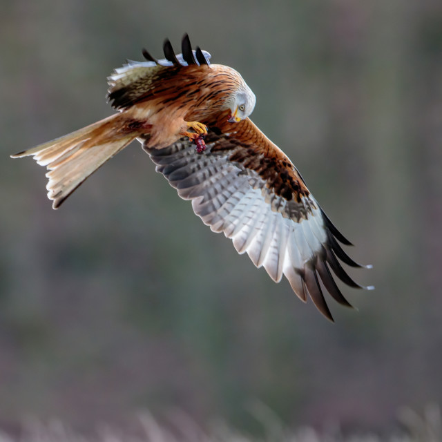 """""""A Red Kite grabbing some meat on the ground and then lifting to its mouth in flight"""" stock image"""