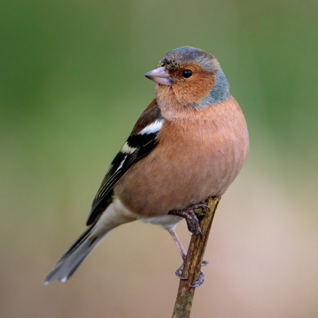 """""""Beautiful Chaffinch perched and looking around."""" stock image"""
