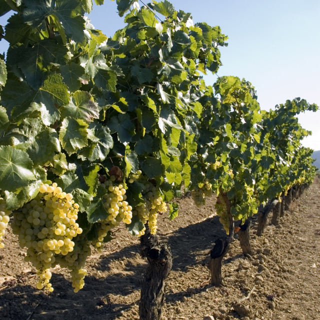 """""""Grapes hanging from vines"""" stock image"""