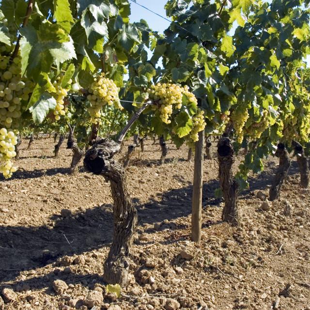 """""""Rows of vines in vineyard"""" stock image"""