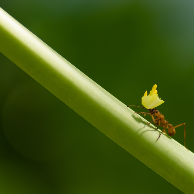 """""""Leaf Cutter Ant"""" stock image"""