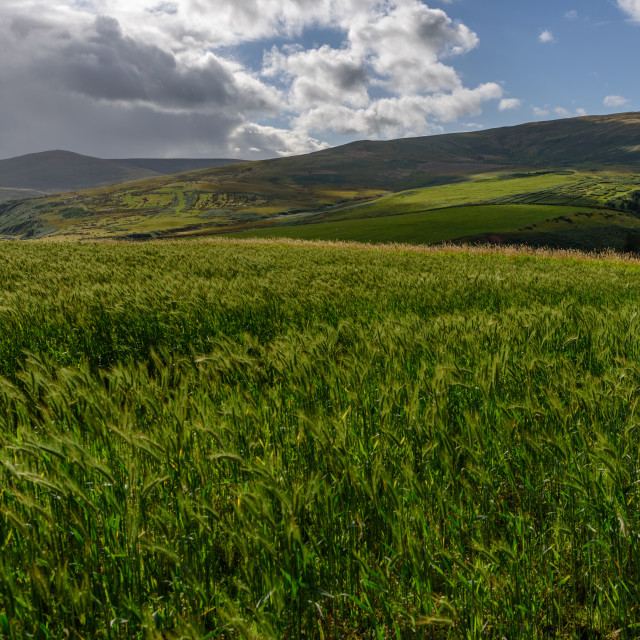 """""""Wheatfield in the Breamish Valley"""" stock image"""