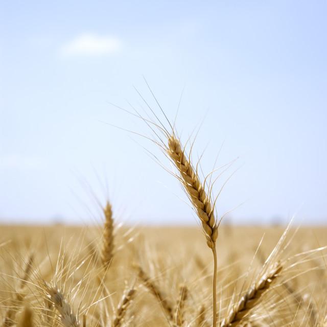 """Ear of wheat in a field"" stock image"