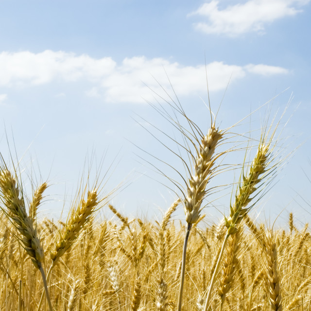 """""""Wheat spikes"""" stock image"""