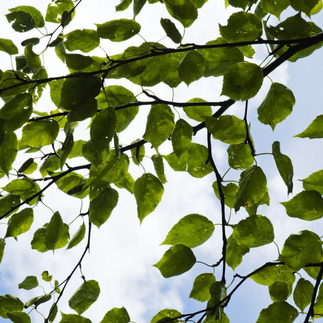 """""""Mulberry leaves"""" stock image"""