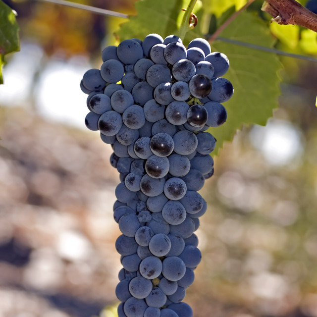 """""""Grapes on the vine 1"""" stock image"""