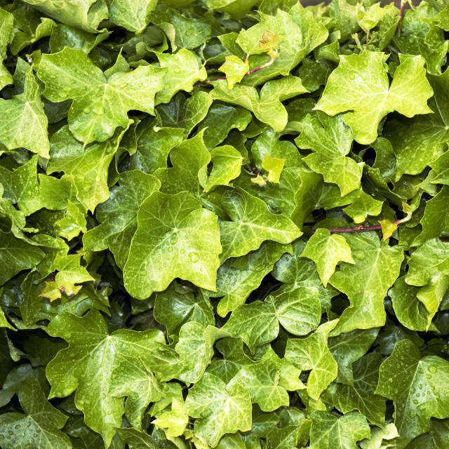 """Closeup of ivy vines"" stock image"