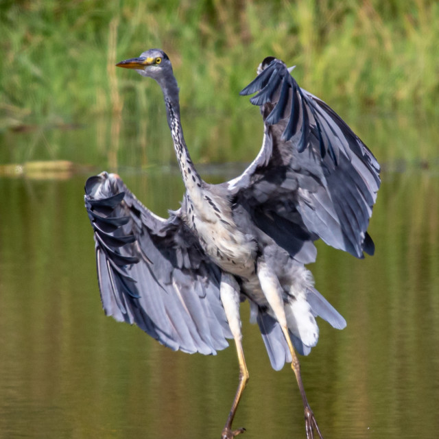 """""""The graceful Grey Heron on the hunt"""" stock image"""