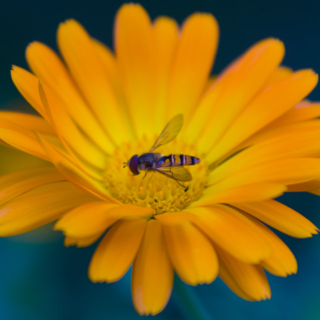 """Hoverfly on a yellow flower"" stock image"