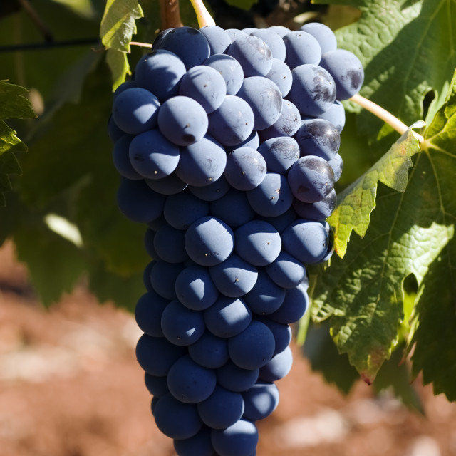 """""""Bunch of ripe juicy grapes"""" stock image"""