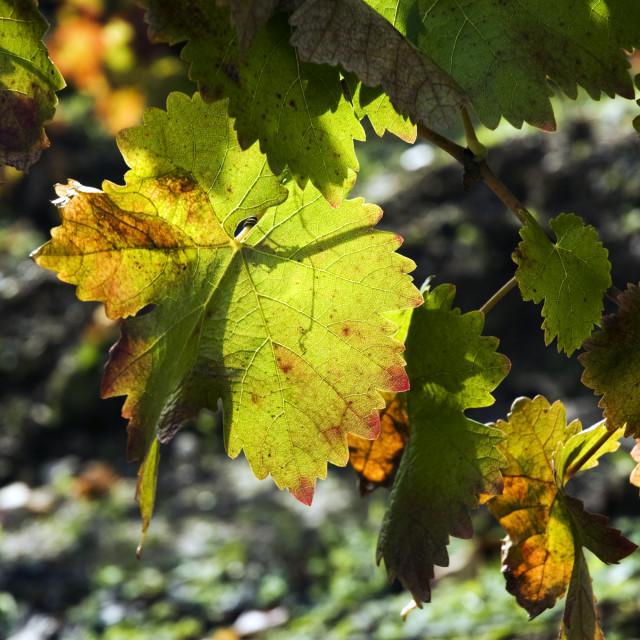 """""""Autumn leaves on vine"""" stock image"""