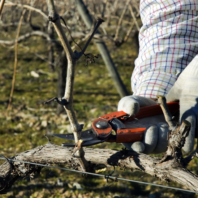 """""""Worker pruning grapevines"""" stock image"""