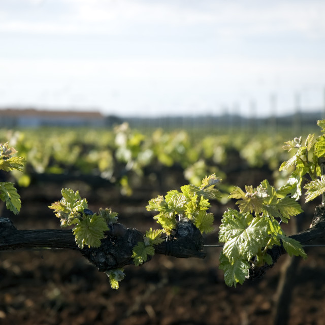 """Tender spring grape vines"" stock image"