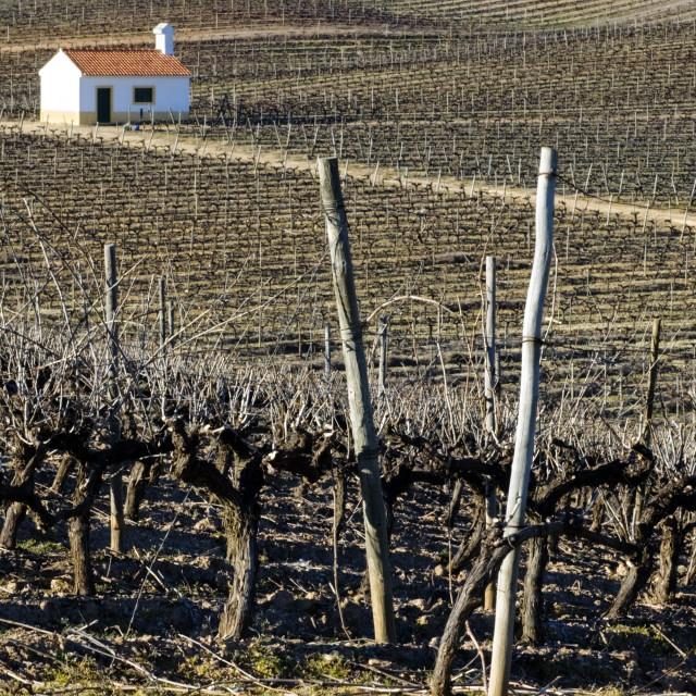 """Vineyard in winter"" stock image"