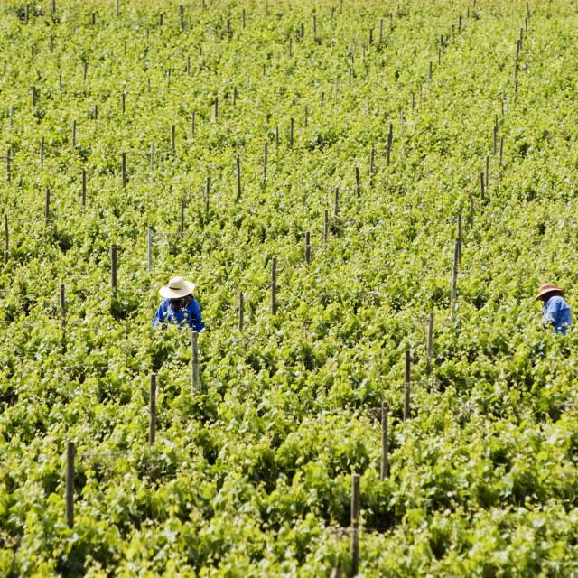 """Harvesting grapes"" stock image"