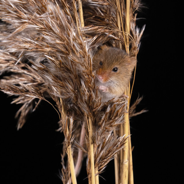 """Harvest Mouse in Pampus Grass"" stock image"