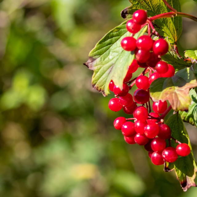 """Red Berries on display"" stock image"