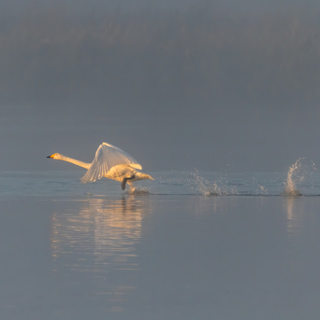 """""""Swan taking off from the water running to build up speed"""" stock image"""