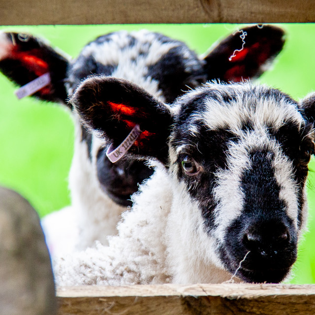 """Swaledale Spring Lambs looking through fence"" stock image"