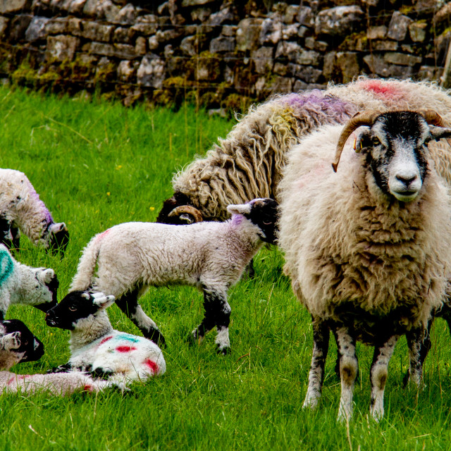 """""""Swaledale Sheep with Spring Lambs"""" stock image"""