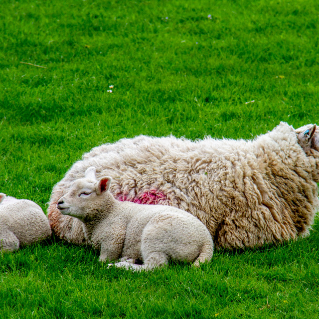 """Swaledale Sheep with Spring Lambs"" stock image"