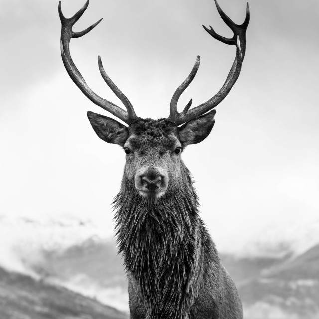 """Monarch of the glen"" stock image"