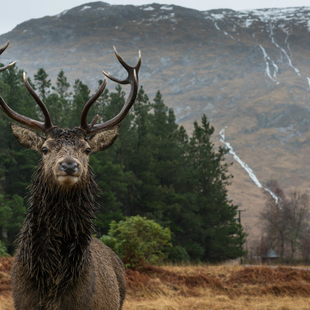 """""""Monarch of the glen"""" stock image"""