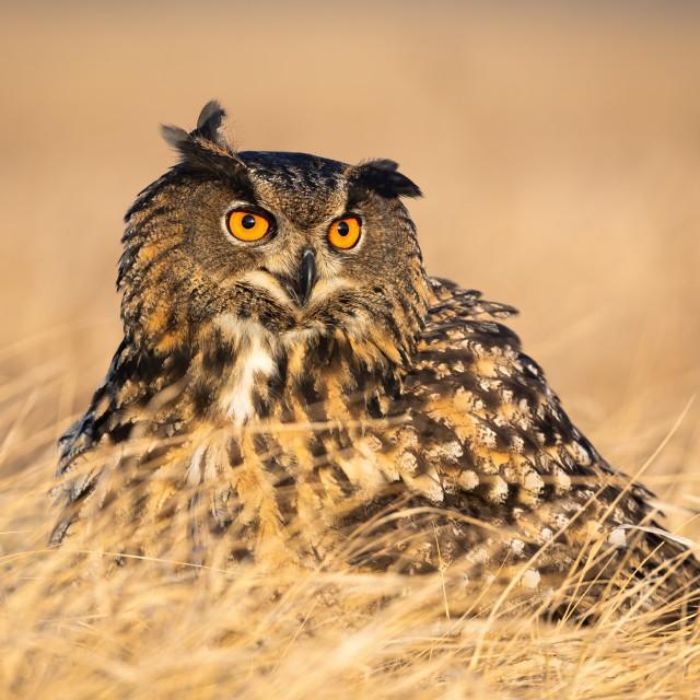 """Annoyed eurasian eagle-owl screeching with beak open in grass in autumn."" stock image"