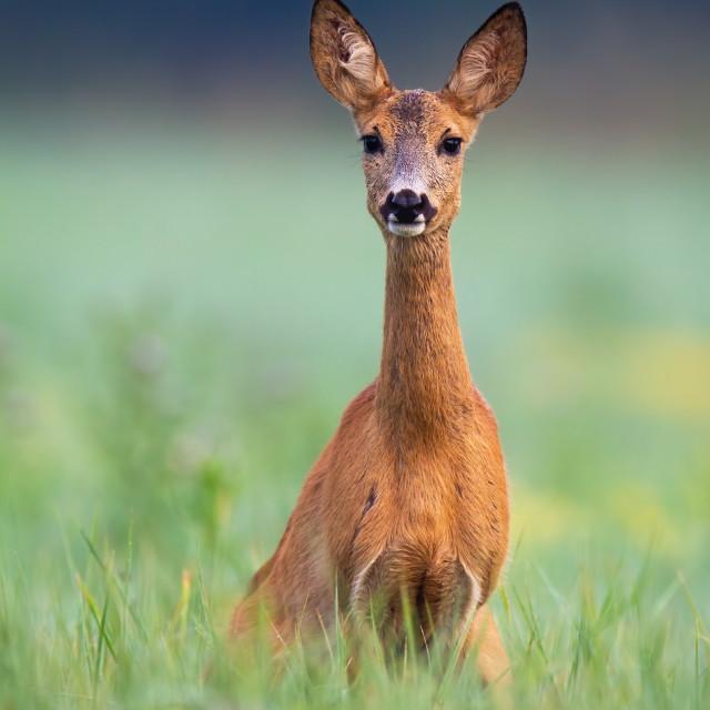 """Alert roe deer doe looking into camera on a green meadow in summer"" stock image"