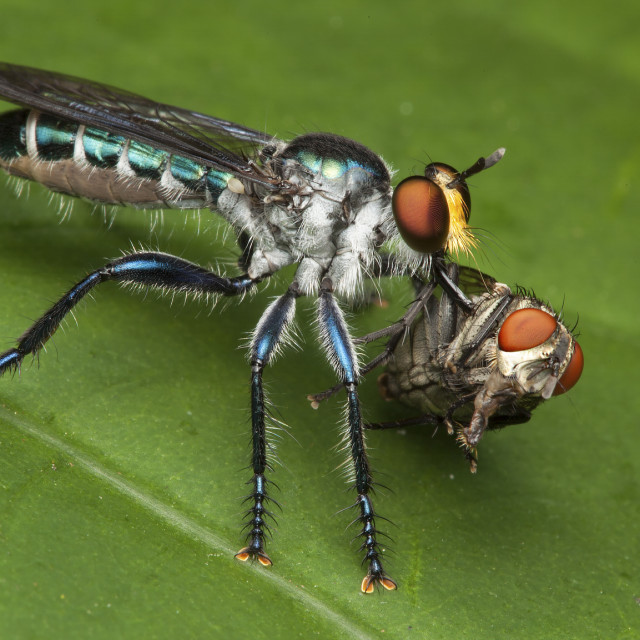 """""""Assassin fly with blowfly"""" stock image"""