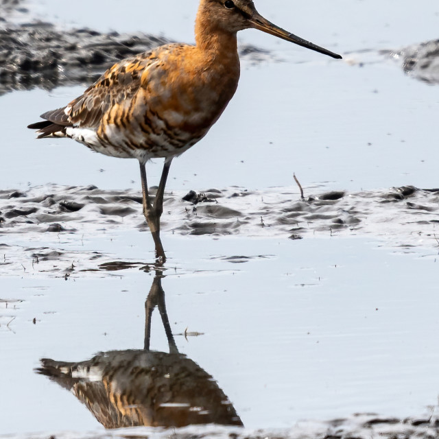"""""""Black Tailed Godwit and reflection foraging for a meal"""" stock image"""