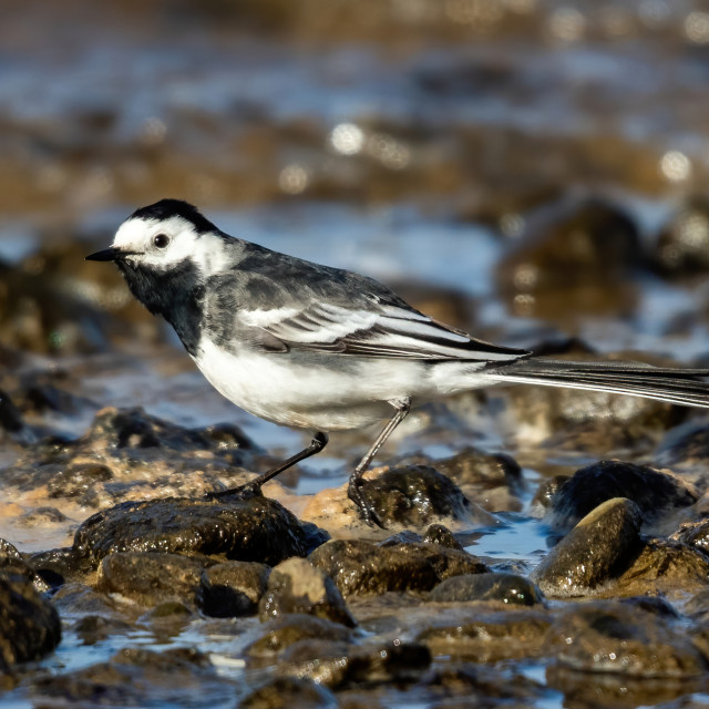 """""""Pied Wagtail hunting in the rocks"""" stock image"""