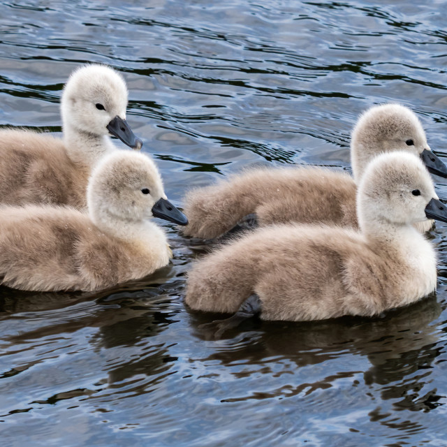 """""""A group of young cygnet following mum."""" stock image"""