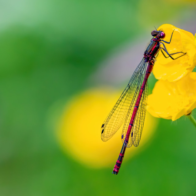 """Wonderful Red Damselfly perched on a buttercup"" stock image"
