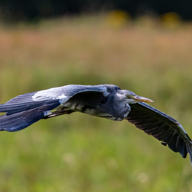 """Grey Heron in Flight close up"" stock image"